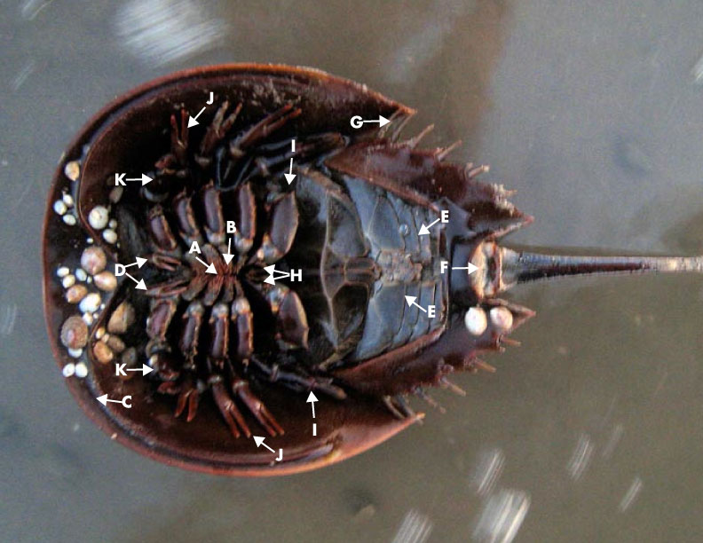 Horseshoe_Crab_Bottom