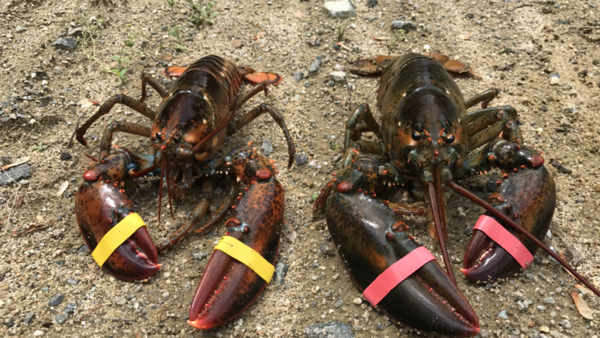 Those Remarkable Lobster Claws