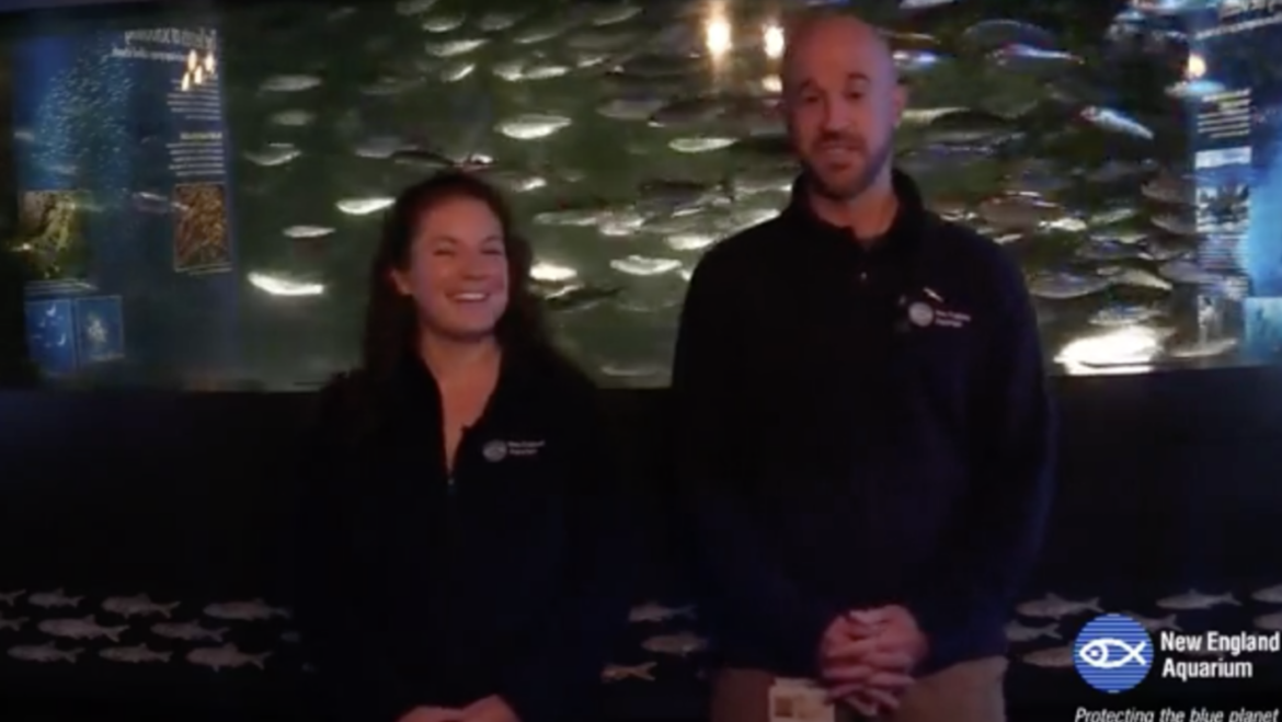 "New England Aquarium's live video – ""Schooling"" from the Herring Tank"