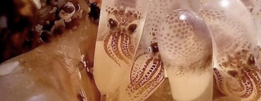 Incredible Look at Octopus Eggs