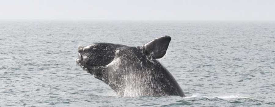 Spring Brings Increased Right Whale Sightings Off the Coast of Massachusetts